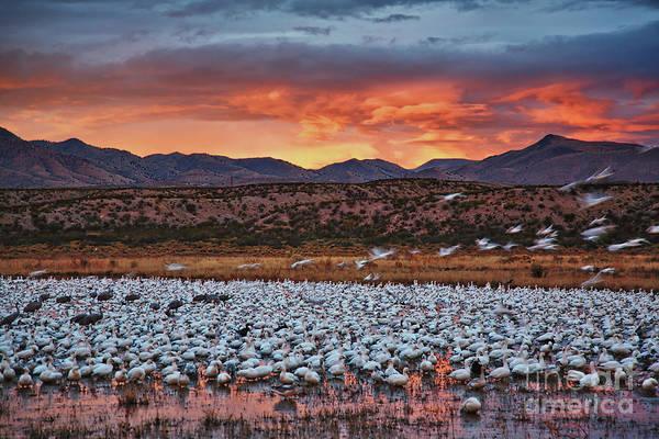 Photograph - Blast Off At Bosque Del Apache, New Mexico  by Sam Antonio Photography