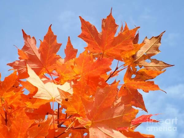 Photograph - Blazing Maple by Barbara Von Pagel