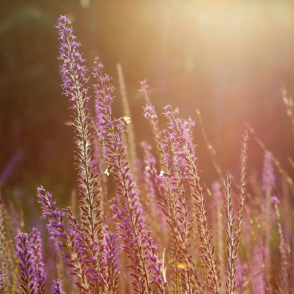 Photograph - Blazing Star And Bees by Paul Rebmann