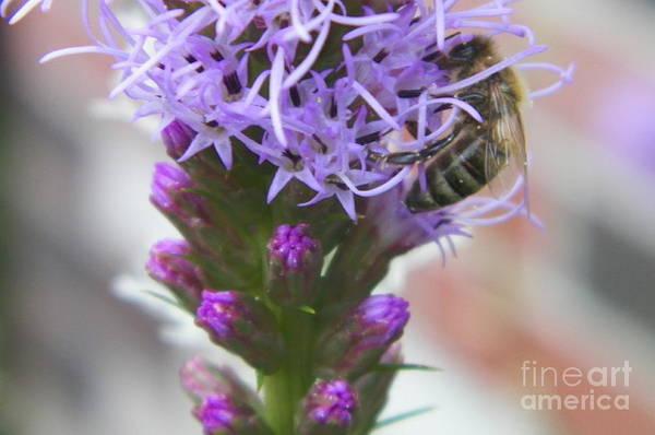 Liatris Spicata Photograph - Blazing Star With Bee by Gina Sullivan