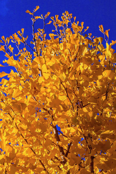 Wall Art - Photograph - Blazing Yellow Ginkgo Tree by Garry Gay