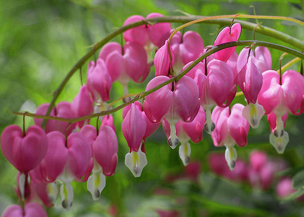 Photograph - Bleeding Heart Flower Cluster by Patti Deters