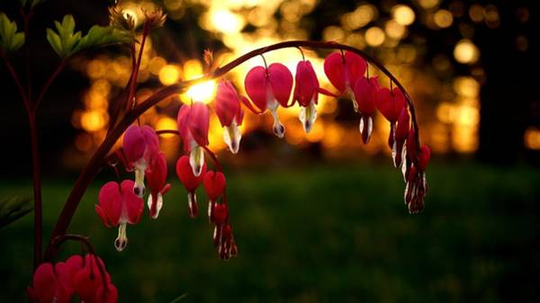 Bleeding Heart Sunset Art Print