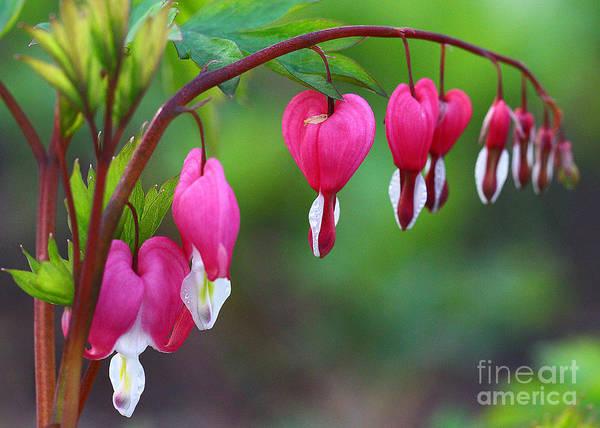 Floristry Photograph - Bleeding Hearts by Anna Sheradon