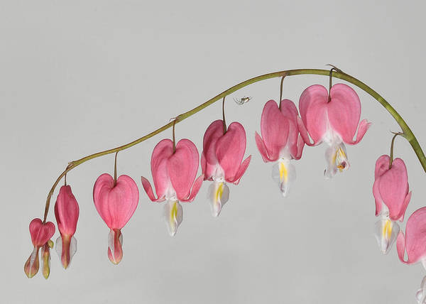 Photograph - Bleeding Hearts With Company by Lara Ellis