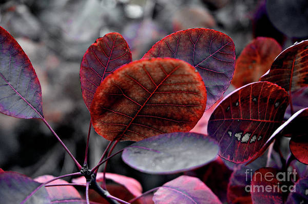 Photograph - Bleeding Purple Smoke Bush Leaves by Silva Wischeropp