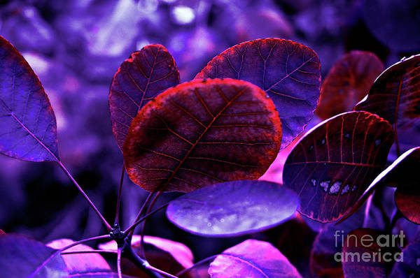 Photograph - Bleeding Violet Smoke Bush Leaves - Pantone Violet Ec by Silva Wischeropp