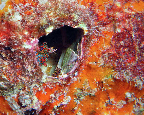 Photograph - Tesselated Blenny With Eggs by Pauline Walsh Jacobson