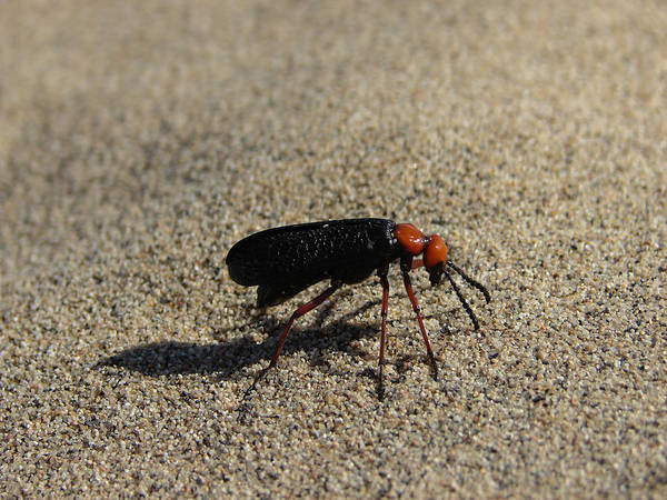 Wall Art - Photograph - Blister Beetle by Carl Moore