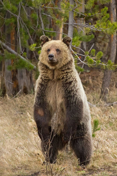 Grizzly Bears Photograph - Blondie by Sandy Sisti