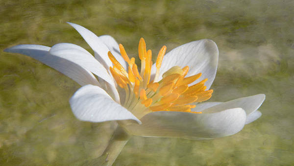 Photograph - Bloodroot Flower Bloom by Patti Deters
