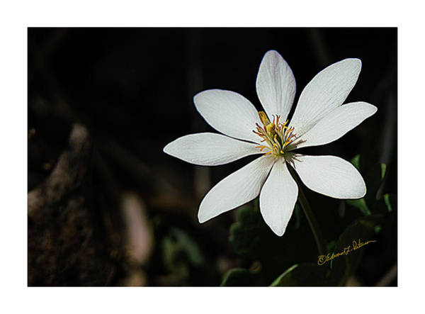 Photograph - Bloodroot Flower by Edward Peterson