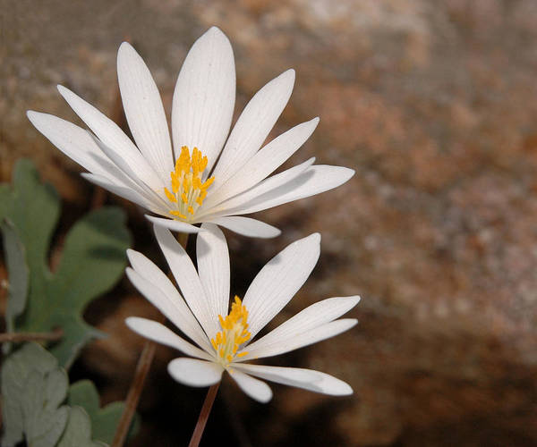 Photograph - Bloodroot Flowers by Lara Ellis