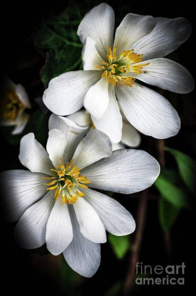 Photograph - Bloodroot In Bloom by Thomas R Fletcher