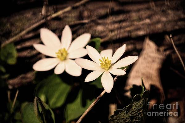 Photograph - Bloodroot In Spring by Mary Machare
