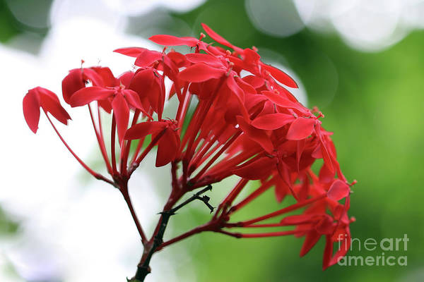 Wall Art - Photograph - Bloom Of The Ixora Chinensis by Michal Boubin