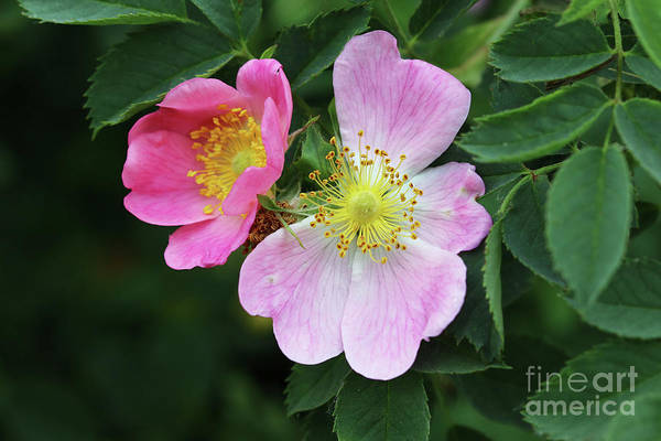Wall Art - Photograph - Bloom Of Wild Rose Shrub by Michal Boubin