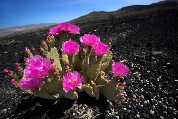 Photograph - Bloomin' Desert by David Andersen