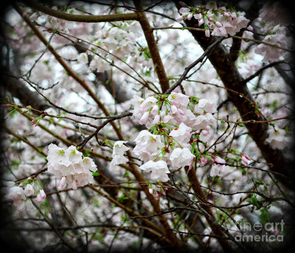 Wall Art - Photograph - Blooming Apple Blossoms by Eva Thomas