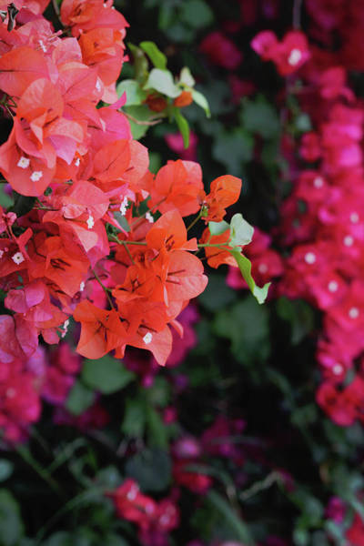 Orange Wood Photograph - Blooming Bougainvillea- Photography By Linda Woods by Linda Woods