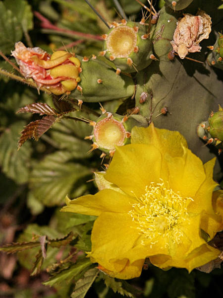 Photograph - Blooming Cactus by Charles McKelroy