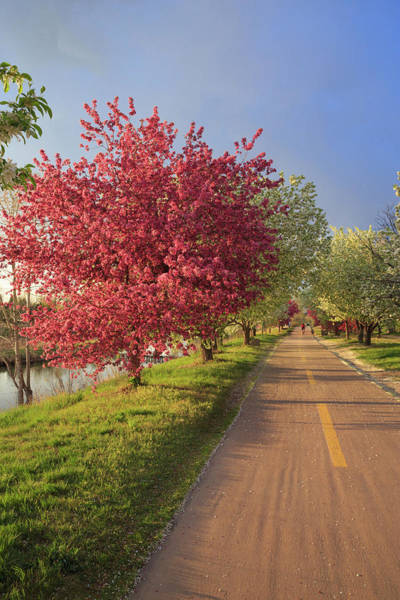 Colorado Springs Photograph - Blooming Crab Apple Trail by Bridget Calip