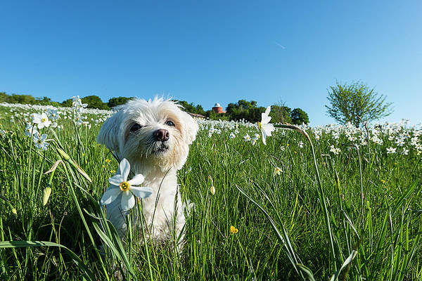 Photograph - Blooming Daffodils In The Antola Park With Maltese I by Enrico Pelos