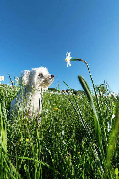 Photograph - Blooming Daffodils In The Antola Park With Maltese IIi by Enrico Pelos