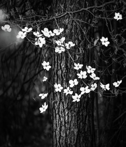 Dogwoods Photograph - Blooming Dogwoods In Yosemite Black And White by Larry Marshall
