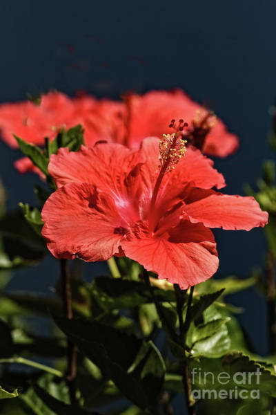 Wall Art - Photograph - Blooming Hibiscus  by Robert Bales