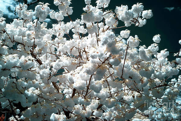 Photograph - Blooming Infrared by John Rizzuto