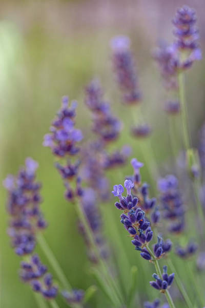 Photograph - Blooming Lavender by Kristen Wilkinson