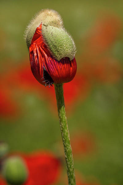 Photograph - Blooming Orange Poppy by Teri Virbickis