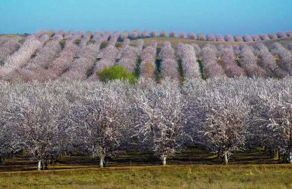 Photograph - Blooming Orchards by Janet Kopper