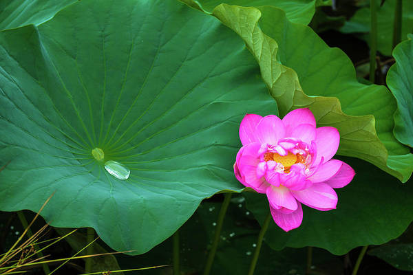 Photograph - Blooming Pink And Yellow Lotus Lily by Dennis Dame