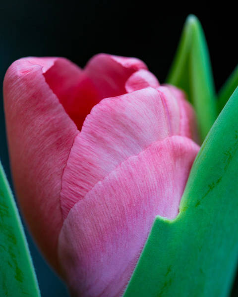 Photograph - Blooming Pink Tulip by Dale Kincaid