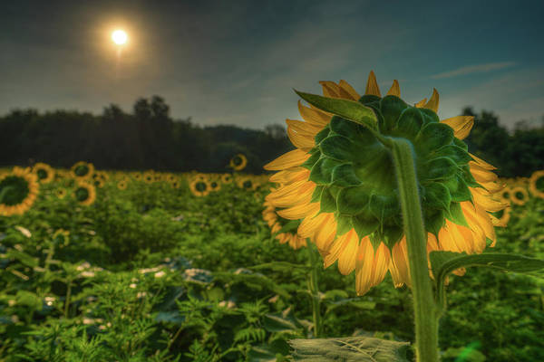 Photograph - Blooming Sunflower Facing Rising Sun by Dennis Dame