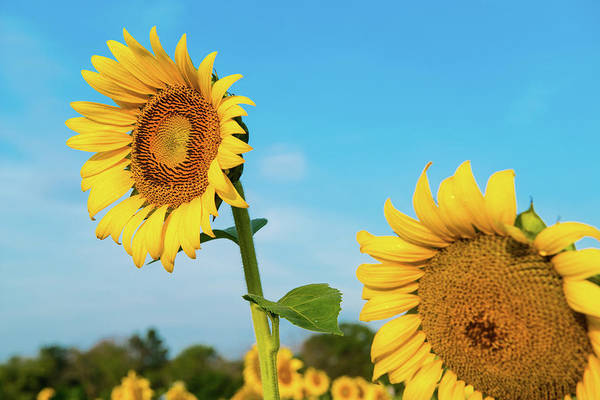 Photograph - Blooming Sunflower In Blue Sky by Dennis Dame