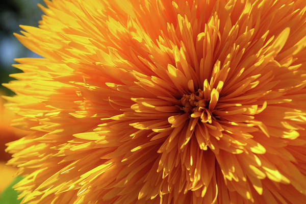 Blooming Sunshine Art Print