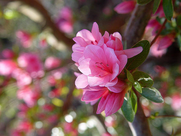 Muskogee Photograph - Blooming Tree by Carolyn Fletcher