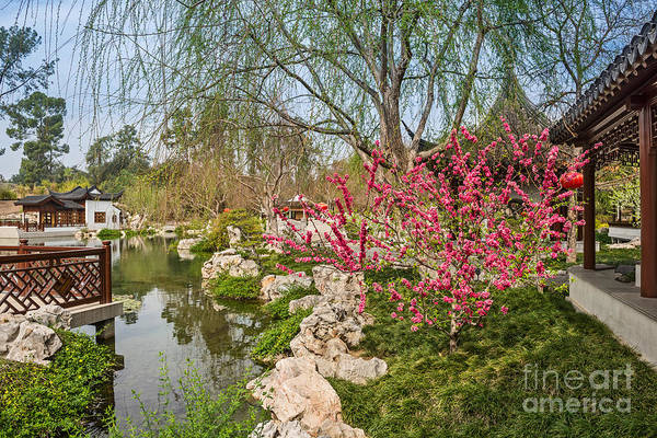 Wall Art - Photograph - Blooming Tree In The Chinese Garden At The Huntington. by Jamie Pham