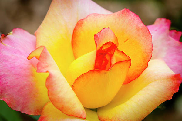 Photograph - Blooming Yellow And Pink Rose by Teri Virbickis