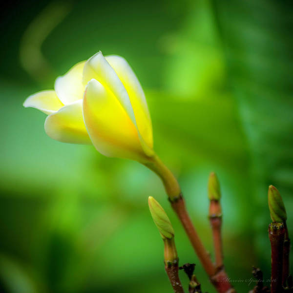 Fragrance Photograph - Blooming Yellow by Marvin Spates