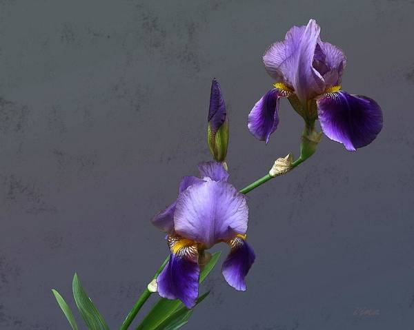 Purple Iris Mixed Media - Iris Blooms In May by I'ina Van Lawick