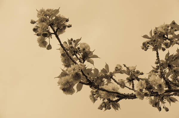 Photograph - Blossoms In Sepia by Marilyn Wilson