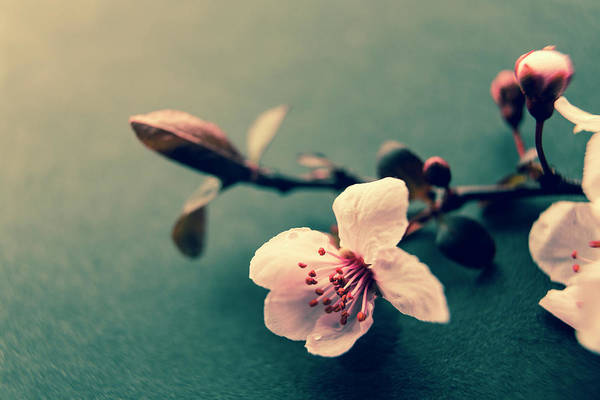 Roms Photograph - Blossom by Caitlyn Grasso
