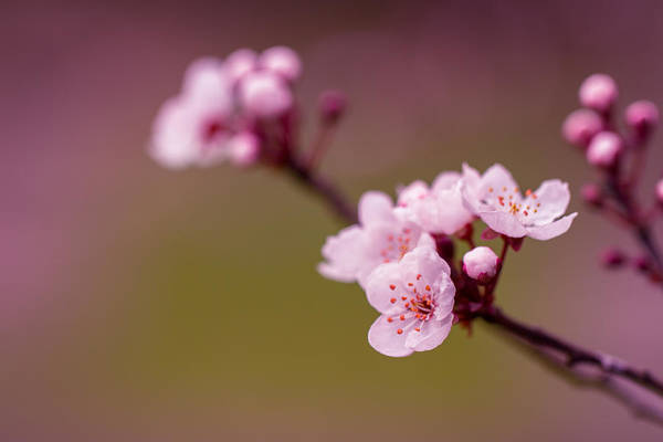 Photograph - Blossom by Clare Bambers