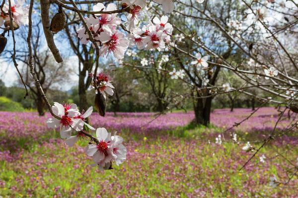 Nature Wall Art - Photograph - Blossoming Almond Trees by Iordanis Pallikaras