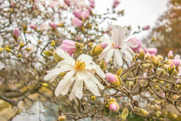 Photograph - Blossoming Of Magnolia Flowers In Spring Time by Alex Grichenko