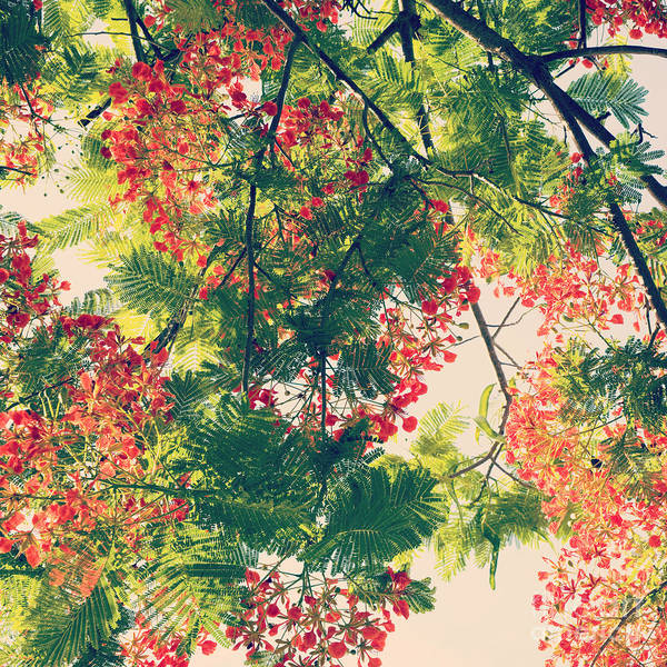 Photograph - Blossoming Royal Poinciana Tree - Hipster Photo Square by Charmian Vistaunet